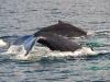 2 bultrugwalvissen