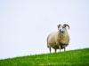 Stoer schaap