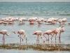 Flamingo's bij Walvisbaai