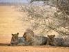 Eindelijk: leeuwen!
