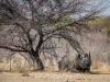 Zwarte neushoorn