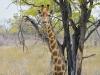 Giraf heeft het ook warm