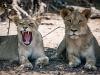 Gevlekte leeuwen?