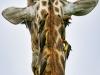 Giraffe-wash