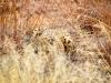 Ik zie geen luipaard...