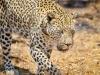 I did, i did see a leopard!