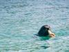Zeehond (met octopus)